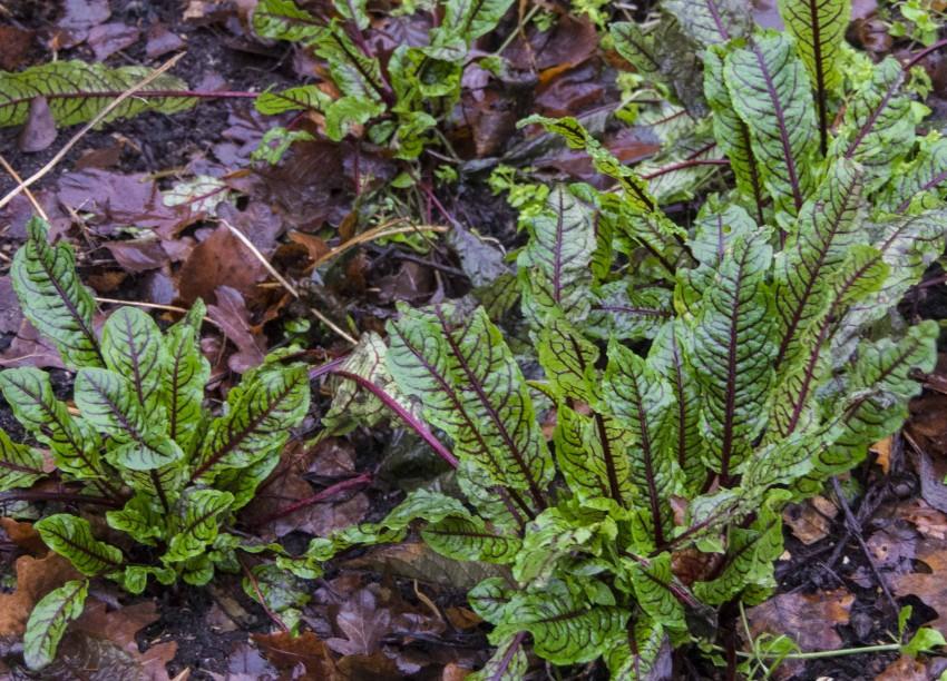 Syreplanter, bildet tatt i desember 2013.