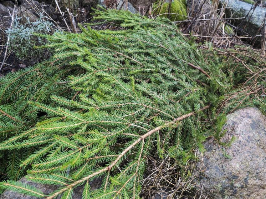 Under granbaret er stauder som jeg plantet i fjor sommer, og som jeg ikke helt vet om hvor godt etablerte de er.