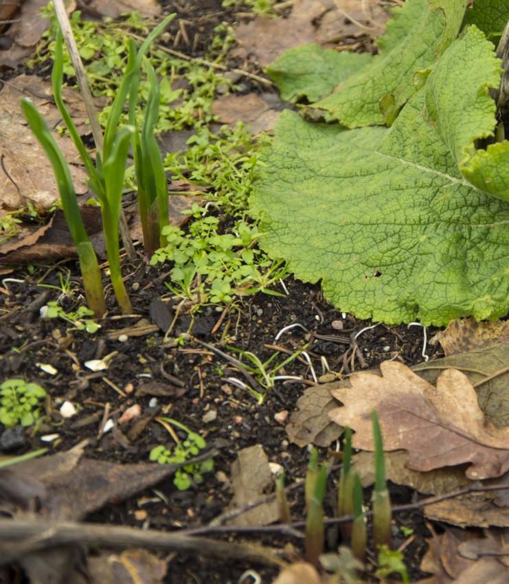 Her spirer to hvitløk som jeg glemte å høste ifjor.