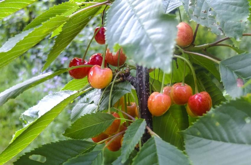 """Søtkirsebær, """"Merton Glory"""" fra hagen på Orust."""