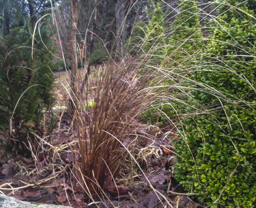 dette er et eviggrønt -brunt-gress Carex buchananii. Bildet tok jeg i dag med telefonen min.