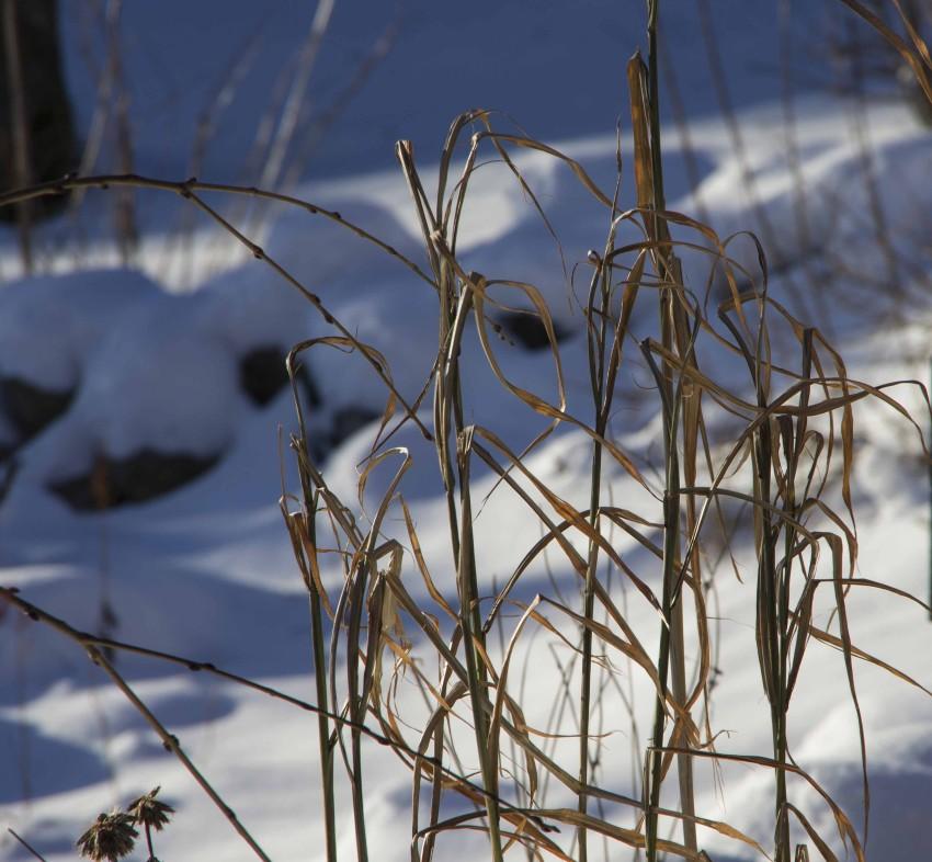 Sebragress, Miscanthus sinensis 'Zebrinus' rasler lett i vintersolen. Jeg klipper ståene helt ned når telen er borte.