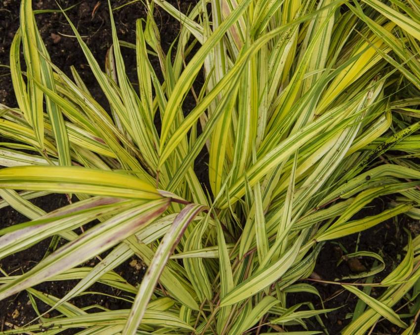 """Hakonechloa macra, """"Aureola"""". Et veldig vakkert, lavt gress jeg plantet i høst. Spennende å se om det overlever.."""