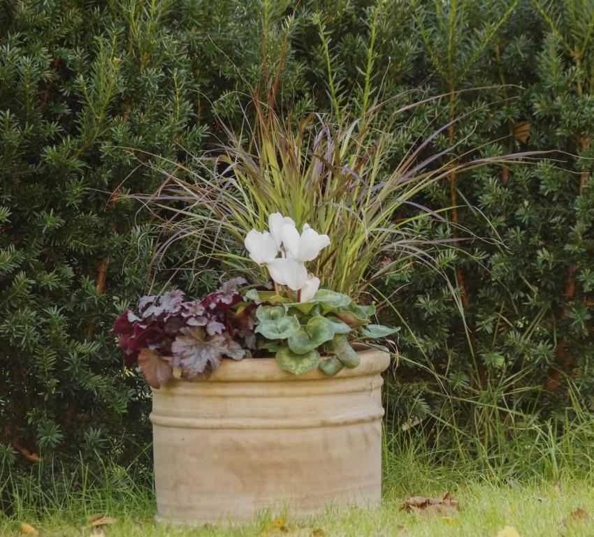 """Pyntegress Pennisetum setaceum """"Rubrum"""". Vakkert i krukker, men tåler ikke mere enn noen minusgrader."""