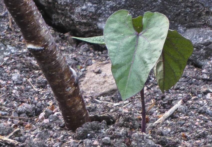 Her er en liten bønneplante som vokser lydig ved pinnen sin.