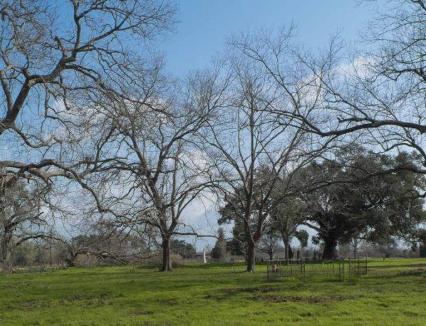 texas trees22_