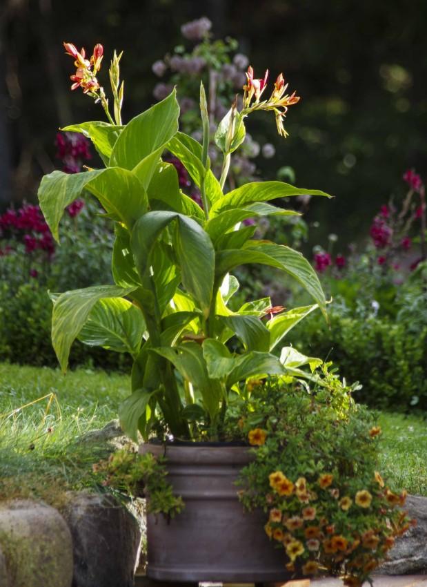 Selve canna-planten ble veldig eksotisk og staselig. Flotte blader. Denne typen hadde gylne striper i bladene også.