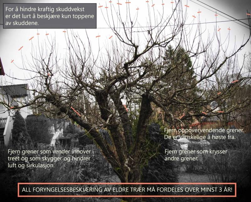 Beskjæring Frukttrær20_
