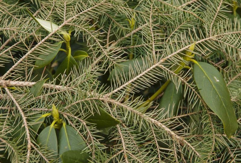 Gette er en ideell kombinasjon! Rhododendron og granbar som skjermer for den kraftigste solen. Granbaret hindrer at busken blir uttørket samtidig som at nålene på sikt forsurer jorden rundt busken. Rhododendron, Azalea, blåbærbusker og lyng er som kjent surjordselskere.