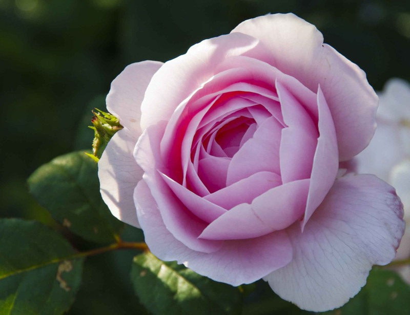 """Hvis du vil ha roser som denne David Austin rosen """"Queen of Sweden"""" bør du ta deg en tur ut for å dekke til rosene dine nå om du ikke allerede har gjort det."""