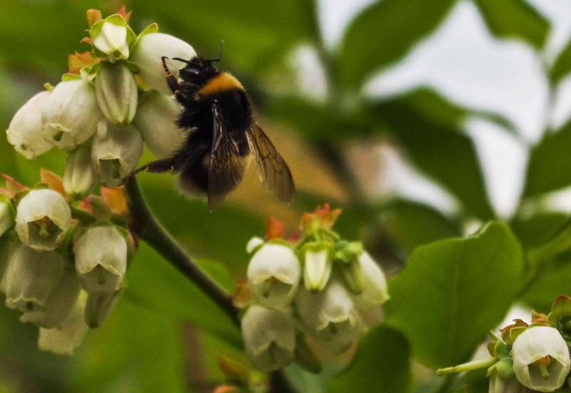 Blåbær og tyttebærlyng har holdt liv i humlene tradisjonelt sett.