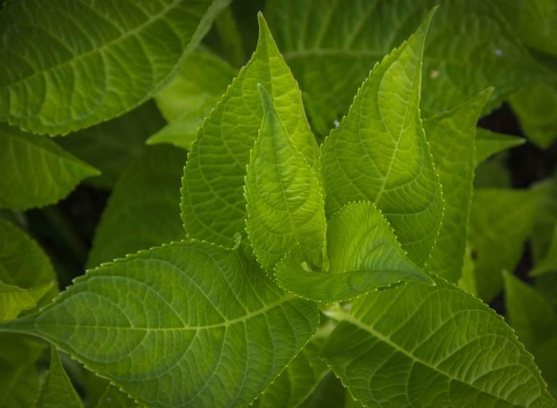 Hvis toppskuddene på hagehortensiaen fryser tilbake, så blir det bare blader slik som dette.