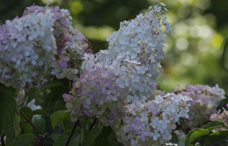 """Syrinhortensia """"Vanille-Fraise"""" får først hvite blomster som går mot rosa etterhvert som de blomstrer."""