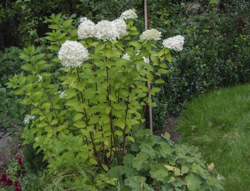 "Samme plante som overstående bilde Hydrangea paniculata ""LImelight"""