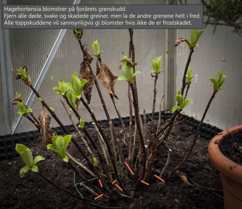 Hagehortensia. Denne står i en krukke på sommeren, så setter jeg den i uoppvarmet veksthus på vinteren.