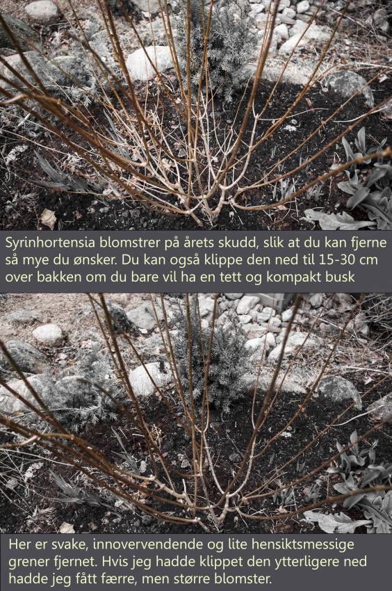 hydrangea_paniculata
