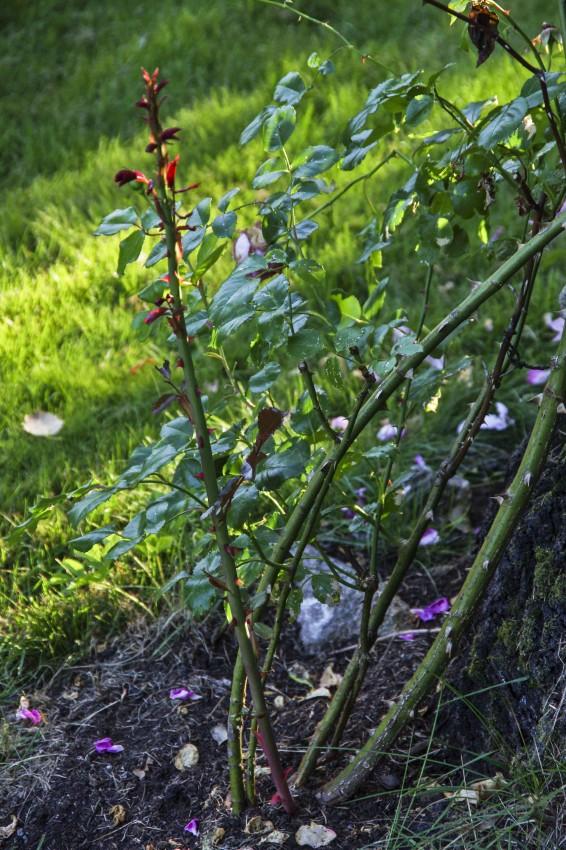 Årsskudd på den samme planten. Disse er det viktig og forsiktig binde inn slik at de blir lirket i riktig retning.