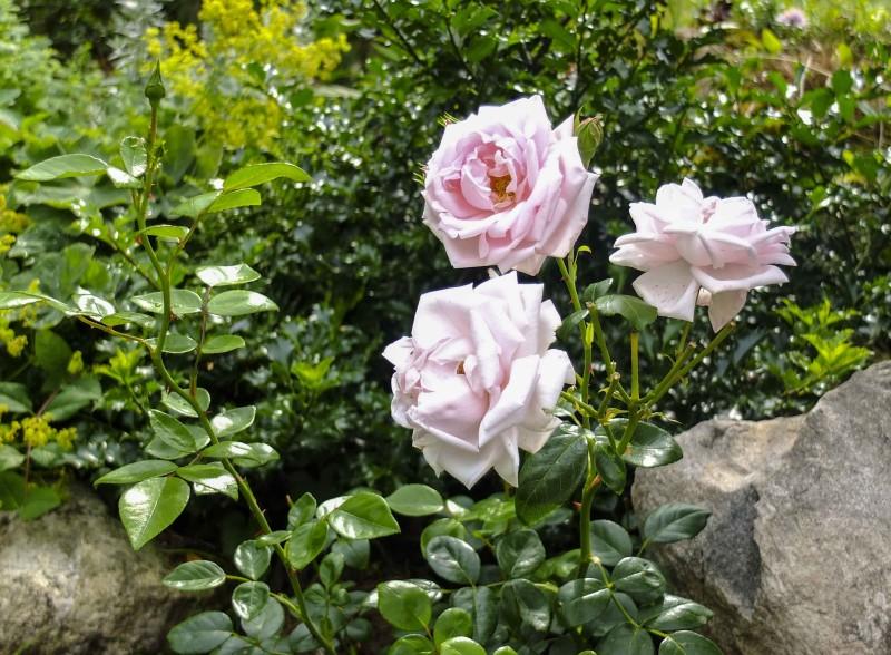 """""""New Dawn"""" er også en flott klatrerose. Blek rosa, med mørkegrønne sykdoms resistente blader."""
