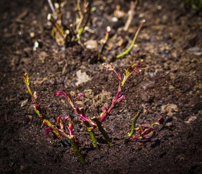 Nyplantet roseplante. Ikke glem at podestedet plantes ca 10 cm under jordoverflaten!