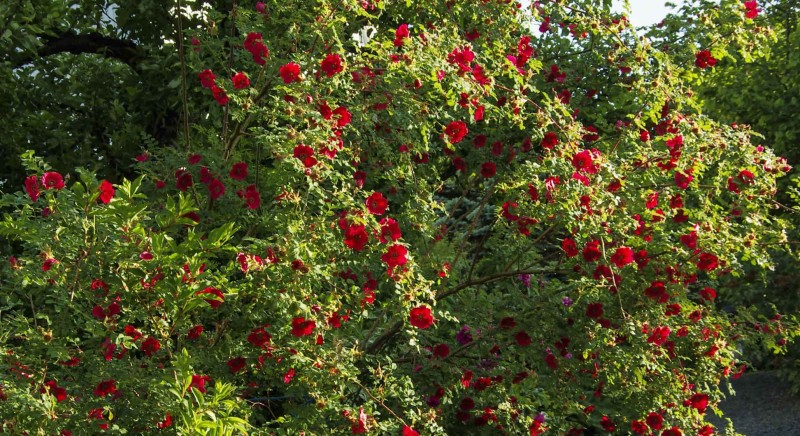 """Dette er """"Rosa Moyesii"""" Det er en stor engangsblomstrende buskrose med fantastisk flotte, enkle blomster. På høsten får den veldig karakteristiske dråpeformede nyper. Busken tar stor plass da greinene blir høye og utoverhengende. Passer som solitærplante eller i en løs hekk."""