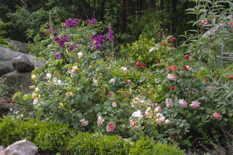 Rosebed med kanting av buxbom for å gjøre det mere lunt. Ogte er ikke nederste del av roseplantene så fine, heller , slik at den lave kantingen skjermer litt for innsyn mot den nederste delen av roseplanten som ofte blir litt strantne.