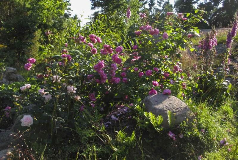 """Du trenger ikke å lage et firkantet tradisjonelt bed. Her er """"Louise Odier"""" og """"Queen of Sweden"""" plantet mellom noen steiener  vi allikevel ikke klarte å flytte.Der står de lunt selv om det er eng og berg rundt."""