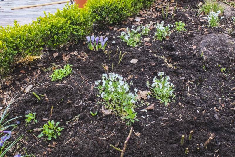 Slik så bedet i bildet ovenfor ut i april samme år. Rosene er klippet ned, det er fylt på litt kugjødselkompost, og noen små stemorsblomster er plassert for å gi litt blomster i bedet før rosene starter blomstringen sin i juli.