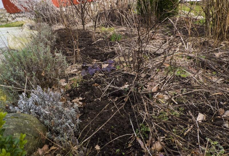 Lavendelen venter jeg med da de tåler dårlig å få frost i nyklippede greinstumper. (Fryser og greienen dør videre nedover mot roten).