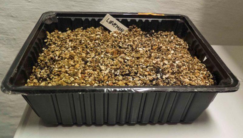 Løvemunn har små frø. Jeg strør de på overflaten av jorden, drysser litt Vermiculite på overflaten, vanner forsiktig, dekker med plast og setter esken varmt. Jeg sjekker hver dag om de har begynt og spire.