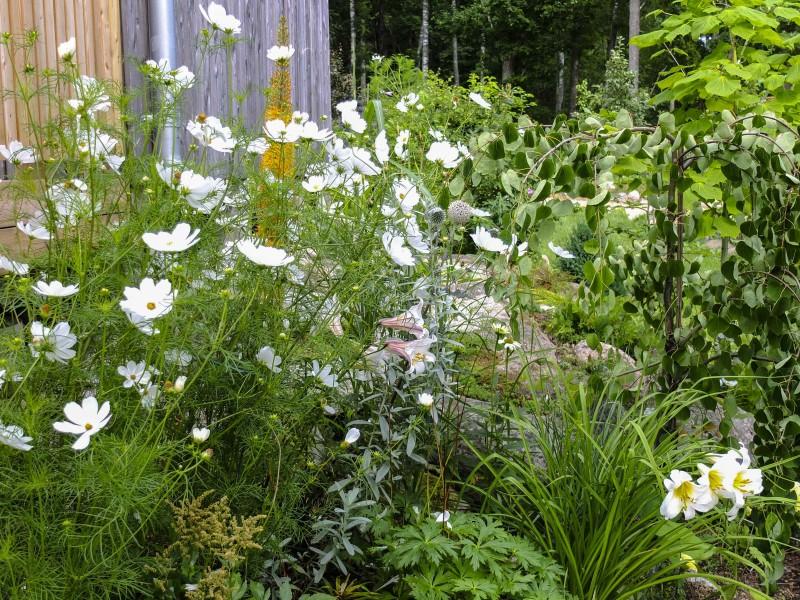 Her er  de på vokseplassen. Det gikk jo greit selv om spirene var strantne. Det er de hvite blomstene til venstre i bildet.