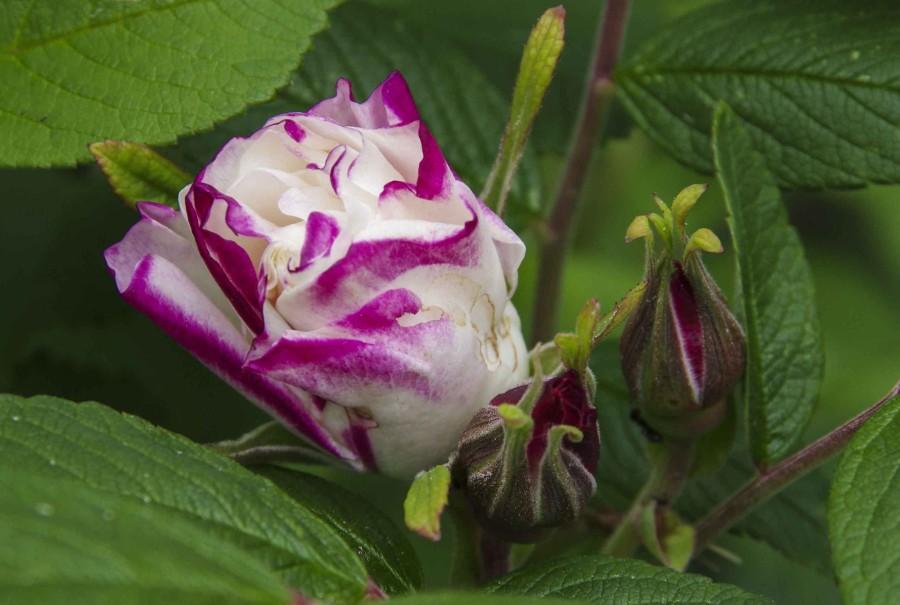 Henry Hudson rose_