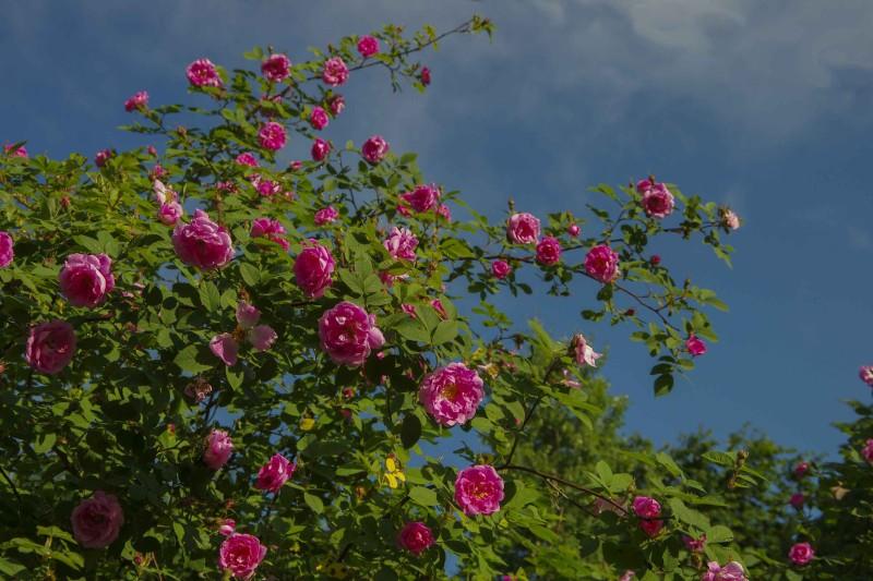 Hurdalsrosen tar mye plass, men selve blomstringen er nesten som en eksplosjon. Den er engangsblomstrende, og her i Oslo varer blomstringen en uke. Den tar mye plass for en kort blomstring, selv om den er flott.