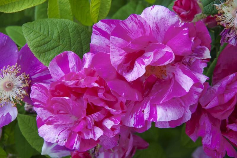 Rosa Mundi danner mindre busker. Den er hardfør til sone 6, og har overlevd i Oslo hagen under en edelgran i 14 år. Nå hangler den, men det er fordi det er altfor tørt under den granen.  Litt tivoli over denne rosen som vi vet fantes allerede på 1500-tallet.