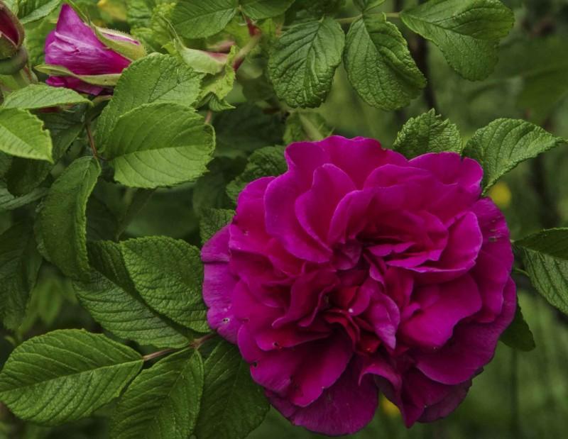 """Rosa rugosa """"Hansa"""" danner store, vide busker med store, duftende blomster. Eneste minus er at den er veldig tornete."""