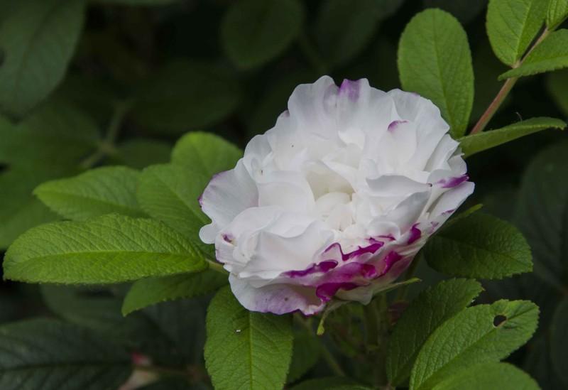 """Denne canadiske rosen """"Henry Hudson"""" Liker jeg godt siden den har nydelige rosa knopper, som deretter utvikler seg til halvfylte hvite roser."""