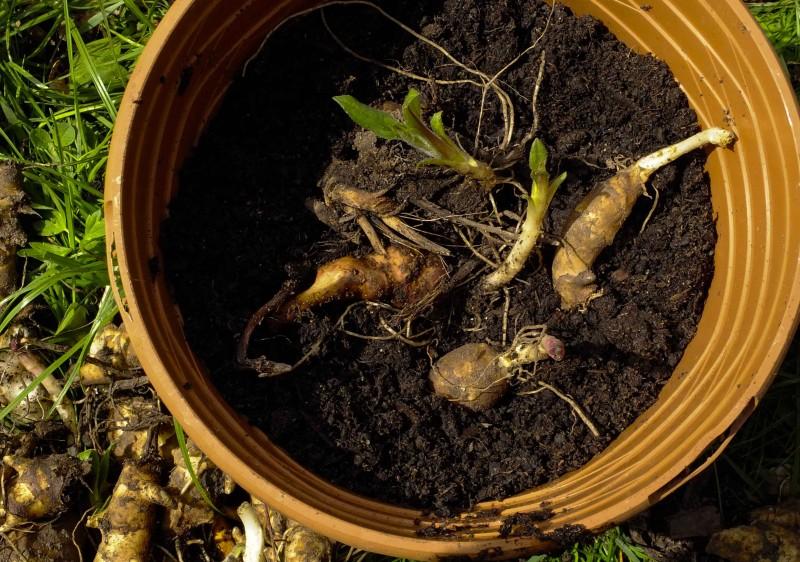 Når jeg spar opp grønnsakåkerene, fjerner jeg så mye som mulig av jordskokkene fra i fjor. Noen setter jeg i potter i drivhuset med litt jord over for å gi de en bra start.