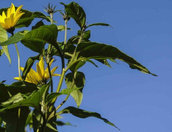 jorskokk blomst_2_