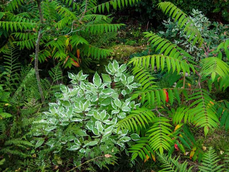 """Cornus alba, """"Ivory Halo"""" buskene plantet samme år som bildet er tatt. t sammen ortesumak i en litt """"rufsete"""" del av hagen hvor plantene får lite stell."""