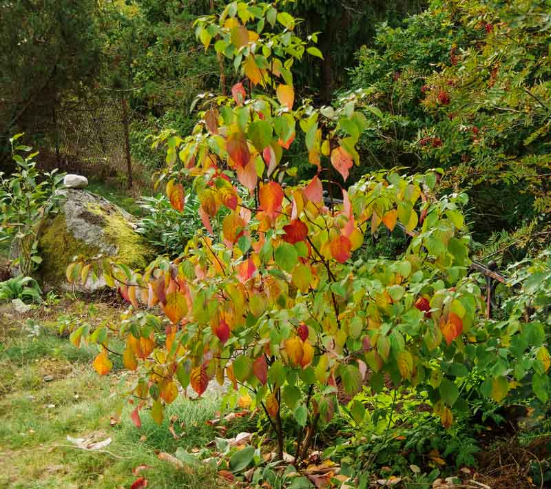 Vanlig sibirkornell uten brogete blader. Dette bildet er tatt i september når høstfargene akkurat har kommet.