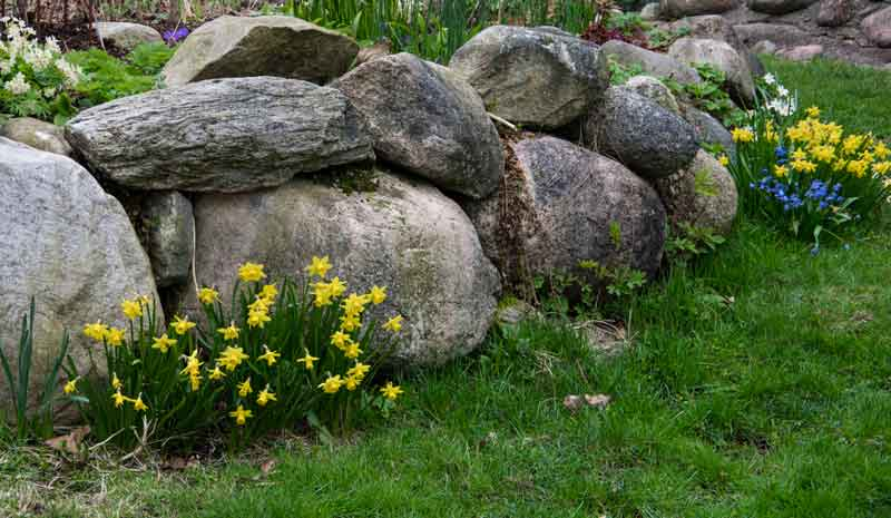 Her er påskeliljer plantet langs steinmuren etter å ha blomstrer innedørs i påsken. De blir faktisk flere og flere. De får en neve hønsegjødsel et par ganger i løpet av våren.