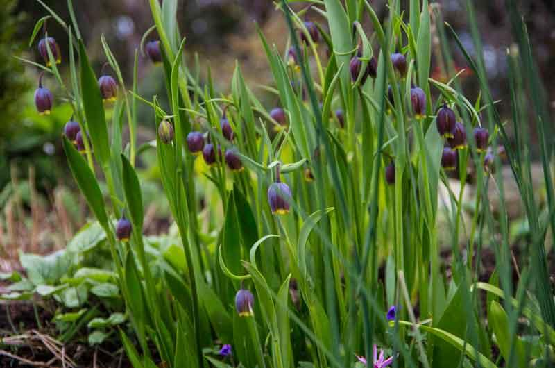 Fritillaria messanensis ssp. gracilis_