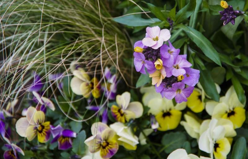 """Stemorsblomster (med små blomster, de ser litt mindre stive ut enn de med de store blomsterhodene), prydgress Stipa tenuissima """"Pony tails"""", og lilla gyllenlakk."""