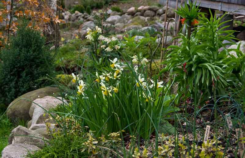"""Nå gjelder det å la alle løkplantene få visne ned naturlig, uten å falle for fristelen for å """"rydde"""" de vekk. Det er nå løkblomstene samler  næring til neste års blomstring."""