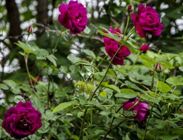 Rosestell_