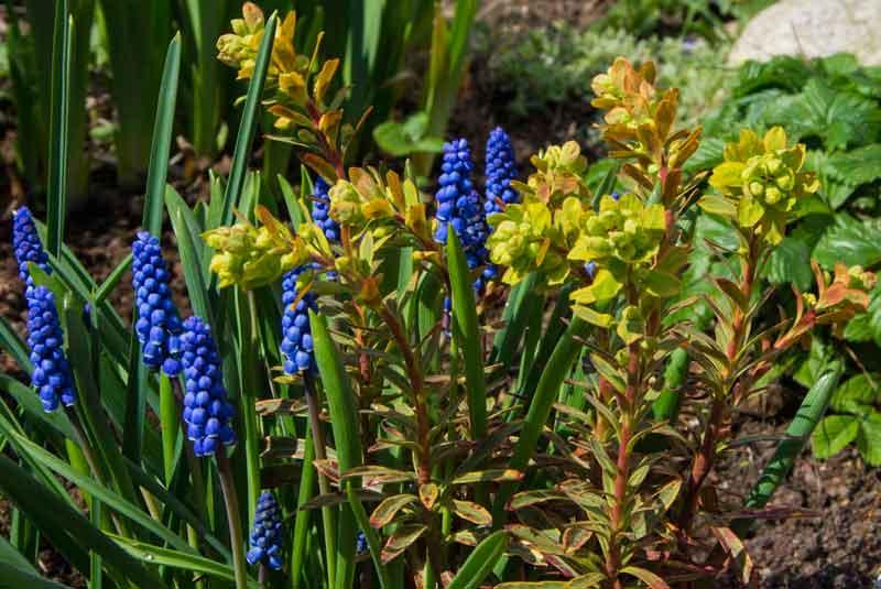 Dette var ganske søtt. Tydeligvis hadde jeg plantet en Euphorbia x martinii 'Ascot Rainbow' oppå noen perleblomster.