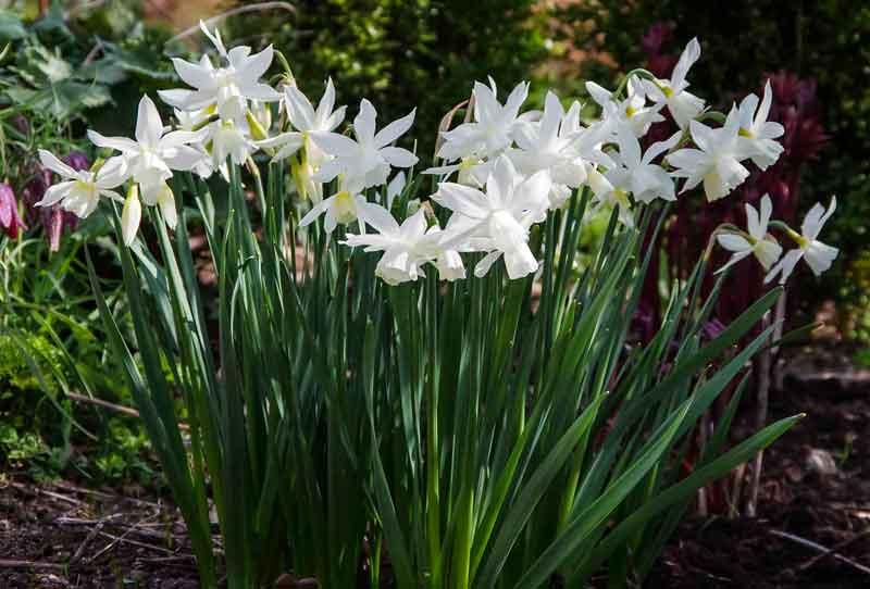 """Narcissene gir flotte blomster nå. Dette er Narcissus """"Thalia"""". Disse løkene blomstrer for fjerde år. Gresset får stå i ro og visne ned, og de fikk en god mulch med kompost i fjor høst."""