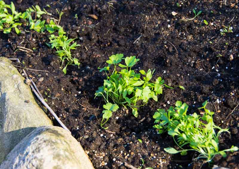 Persillen kan det være lurt å så inne for deretter plante ut siden den spirer så seint.