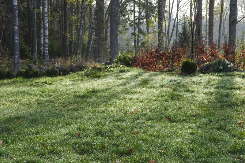 Sett gressklipperen på høyeste klippehøyde de første gangene slik at plene får et forprang på mose og ugress.