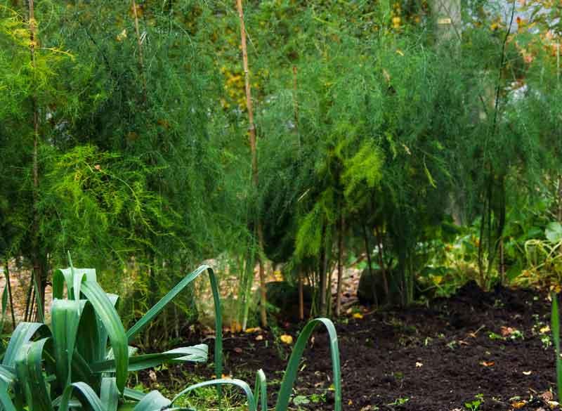 Aspargesplanten blir nokså store og vide,men veldig dekorative. Bladene er fjæraktige og flotte i vaser.