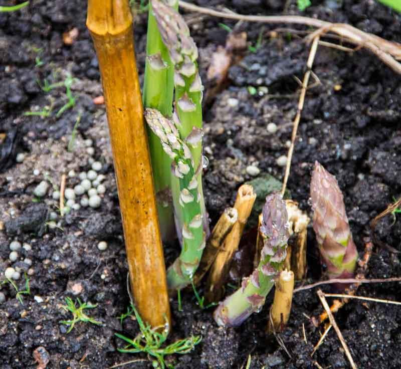 Slik ser en av aspargeskronene ut i år, to år etter planting.
